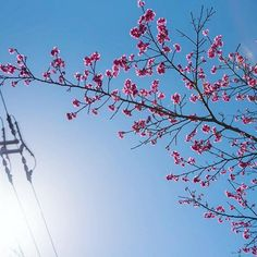 【makito_nk】さんのInstagramをピンしています。 《もとぶ八重岳桜まつり🌸  #もとぶ八重岳桜まつり #桜まつり #本部町 #はなまっぷ #桜 #沖縄 #okinawa #写真 #カメラ #camera #写真撮ってる人と繋がりたい #写真好きな人と繋がりたい #ファインダー越しの私の世界 #instagood #instagramjapan #PHOS_JAPAN #as_archive #team_jp_ #team_jp_flower #whim_life #bestjapanpics #pics_jp #nikonD750》