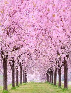 Blooming Cherry Flower Tree Beside Road Photography Backdrop Cherry Flower, Cherry Blossom Tree, Blossom Trees, Cherry Tree, Blossom Flower, Flower Tree, Wallpapers Flowers, Spring Flowers Wallpaper, Flower Wallpaper