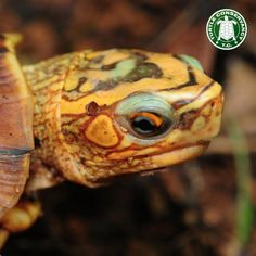 This stunning fellow is a Mexican Spotted Wood Turtle!