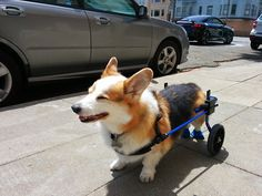 Half-dog, half-machine, all Corgi. He is known as MECHA-BUCK!... - OCD: Obsessive Corgi Disorder