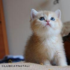 いいね!100件、コメント1件 ― Котики Приносящие Счастьеさん(@clubcatnatali)のInstagramアカウント: 「г. Москва, мы в поисках дома двум британским кошечкам. Рождённые 20 января, а пока они подростают,…」