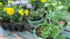 Herbs thrive in pots.