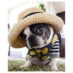#bostonterrierfunny Terrier Breeds, Terrier Puppies, Pitbull Terrier, Boston Terrier Love, Boston Terriers, I Love Dogs, Cute Dogs, Game Mode, Funny Dogs