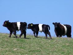 Oreo Cows - I saw this in Florida at Christmas, they are so cute!