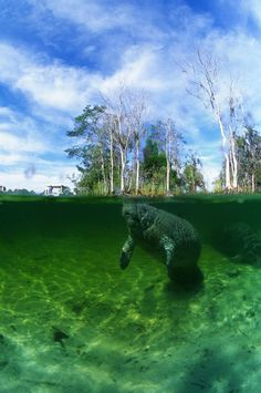 Crystal River Manatee Photo by Bill Knudsen -- National Geographic Your Shot