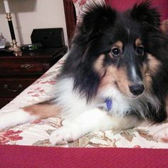 The bed is a sheltie takeover, though not hostile!