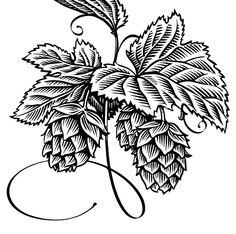 hops drawing   Hops Drawing Simon henshaw illustration -