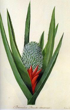 """Thanks to """"The Artist and His Model"""" for posting a gallery of botanical drawings by Sydney Parkinson. Evidently they found the drawings here. Illustration Botanique, Plant Illustration, Botanical Illustration, Botanical Flowers, Botanical Prints, Botanical Gardens, Sibylla Merian, Plant Drawing, Botanical Drawings"""