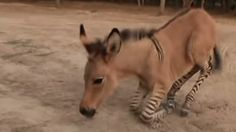 A zonkey born in northern Mexico is considered a rare hybrid which combines both a donkey and a zebra. In a related report by The Inquisitr, a zonkey born in Italy was also considered quite a . The Donkey, Little Pets, Albino, Zebras, Picture Video, Cute Pictures, Cute Animals, Mexico, Puppies