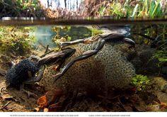 slovenske žabe 6