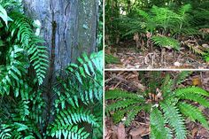 VIDEO CLIP - Adaptations give an organism an advantage when growing in a particular environment. Dr Patrick Brownsey from Te Papa talks about how the leather-leaf fern has adapted to growing in dry conditions.