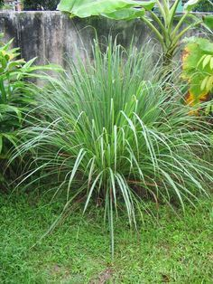 Lemongrass: Repels fleas, ticks and mosquitoes. It's a good companion plant with lavender.....