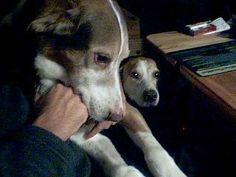 Sami & Lusi 2010, #braque #st.germain # pointer #puppy #pet #haustier #love #family #member #trauer #regenbogen #rainbow