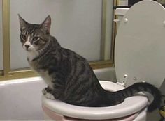 Wouldn't it be great to get rid of the litter box?!?!  Train your cat to use the toilet!