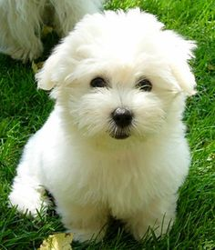 Coton De Tulear breed info,Pictures,Characteristics,Hypoallergenic:Yes