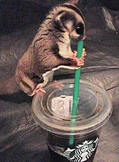 The poor glider doesn't realize it's Starbucks coffee.