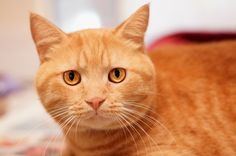 Cuddly (ID 547479), his name says it all. At 5 years young, this handsome fellow is good with people of all ages and is friendly and outgoing once he settles in. He can be a real cuddle bug, so be sure you're ready to share the couch and your bed.