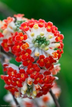 Edgeworthia chrysantha 'Akebono' ('Red Dragon') | Flickr - Photo Sharing!