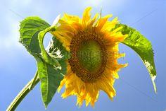 Die Sonnenblume (Helianthus annuus), auch Gewoehnliche Sonnenblume genannt vor einem blauen Himmel an einem Sommertag in Schleswig. © SULUPRESS.DE / Torsten Sukrow