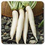 Organic Miyashige White Daikon Radish