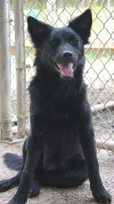 Meet Gypsy, a Petfinder adoptable Chow Chow Dog | Memphis, TN | Gypsy was a feral dog running around in a pack of about ten other dogs. We saw that she had a very...
