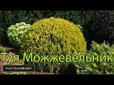 Почему желтеют Туя, Можжевельник, Кипарисовик в домашних условиях ? / Why turn yellow in the home? - YouTube