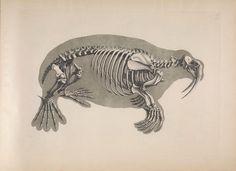 Walrus. Die vergleichende Osteologie Bonn :In Commission bei Eduard Weber,1821-1838. Biodiversitylibrary. Biodivlibrary. BHL. Biodiversity Heritage Library