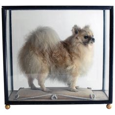 Vintage Victorian Rare Taxidermy Small Dog in Glazed Display Cabinet