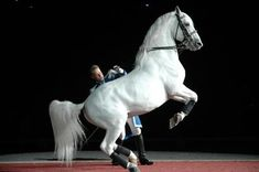 """The Lipizzaner is known for highly controlled, stylized jumps and other movements known as the """"airs above the ground."""" The Lipizzaner breed dates back to the 16th century, when it was developed with the support of the Habsburg nobility. Aside from the rare solid-colored horse (usually bay or black), most Lipizzans are gray. Like all gray horses, they have black skin, dark eyes, and as adult horses, a white hair coat."""