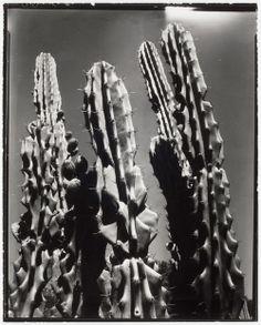 Edward Weston - Cactus, c. 1950.