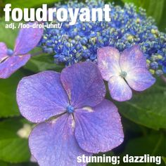 """@wordoftheday on Instagram: """"The foudroyant lacecap hydrangea were in perfect bloom. . . . . #hydrangea #lacecaphydrangea #flowers #wordoftheday #dictionary"""" Taste And See, Word Of The Day, Hydrangea, Exotic, Bloom, Photo And Video, Vocabulary, Flowers, Plants"""
