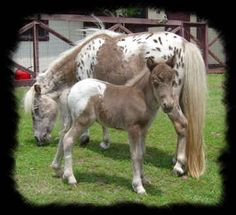 Happy Mother's Day!  Darling Miniature Appaloosa White Cap colt and Leopard Mommy