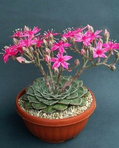 Beautiful flowering succulent - fungardenz