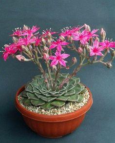 Beautiful flowering succulent