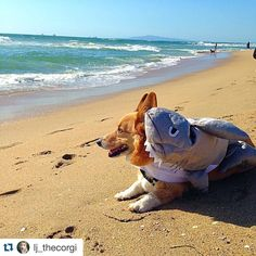 Comment the name of your favorite #SaltedCorgi item below! #SharkCorgi #Shorgi #CorgiShark #corgi #preppy #preppystyle #beachy #beachcorgi #Repost @lj_thecorgi .  Thanks @corgi_zero for reminding me its #sharkweek #barkweek can't wait for the next #socalcorgibeachday it's helping me get through this #rumpday