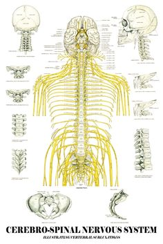 This is a visual of your nervous system and how it extends from the brain and spinal cord and out to every square inch of your body innervating all your organs, muscles, tissues, glands and cells along the way.  What do you suppose happens if there is interference along one of these nerves?