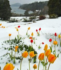 Tulips in Snow, Jeremy Ranch, Park City, Utah.