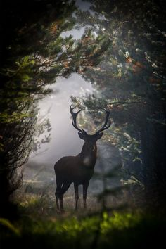 stag in the clearing