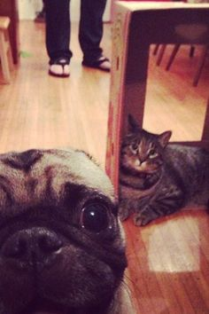 """9 #Pug Photobombs Guaranteed To Put A Smile On Your Face #refinery29 http://www.refinery29.com/the-dodo/69#slide9 """"Cat?!? What cat?""""More Cuteness From The Dodo:10 Kittens Learning Important Lessons From Their Elders8 Puppies Trying To Figure Out How Stairs WorkThese Romping Bulldog Puppies Are AdorableElephant's Graceless Tumble Into A Pond Turns Out Brilliantly"""