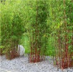 clumping bamboo plants bamboo landscaping ideas garden privacy screen - All About Garden Privacy Screen, Screen Plants, Bamboo Hedge, Bamboo Species, Bamboo Landscape, Clumping Bamboo, Growing Bamboo, Garden Shrubs, Townhouse