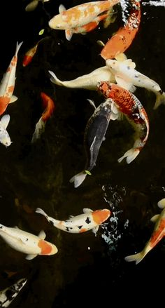 Koi Fish in Black Pond Koi Kunst, Fish Gif, Gif Bonito, Gifs, Koi Art, Koi Fish Pond, Fish Wallpaper, Carpe, Paludarium
