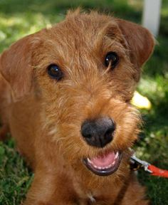 irish terrier puppies for sale | Rooster the Irish Terrier Pictures 9012