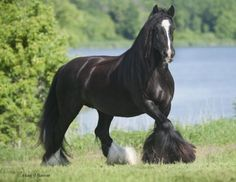 Gypsy Vanner Horse Pictures, Photos,
