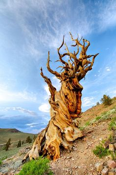 Methuselah, the oldest known tree in the world, is years old, meaning it was established during Ancient Egypt and lived through the rise and fall of the Roman empire. Weird Trees, Bristlecone Pine, Conifer Trees, Bonsai Trees, Magical Tree, Unique Trees, High Pictures, Old Trees, Environment Concept Art