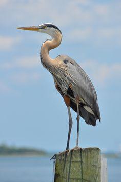 Great Blue Heron (Ardeas herodias) | Flickr - Photo Sharing!