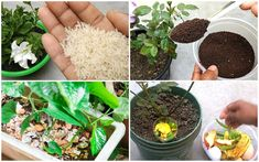 Salvia, Fruit, Garden, Plants, Food, Canning, Garten, Sage, Lawn And Garden