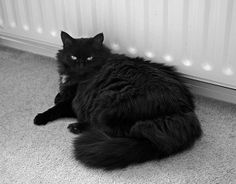furry black cat   ... and a warm radiator what more could a cat need in this weather 6 19