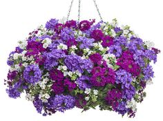 Best Friend | Proven Winners Snowstorm Bacopa and 2 shades of Superbena Verbena