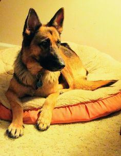 11/19/17 Jackie *FOSTER NEEDED* is an adoptable German Shepherd Dog searching for a forever family near Mill Creek, WA. Use Petfinder to find adoptable pets in your area.
