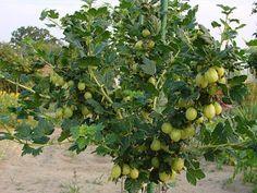 Cięcie agrestu. Jak i kiedy przycinać agrest? Adidas, Fruit, Plants, Dom, Plant, Planets